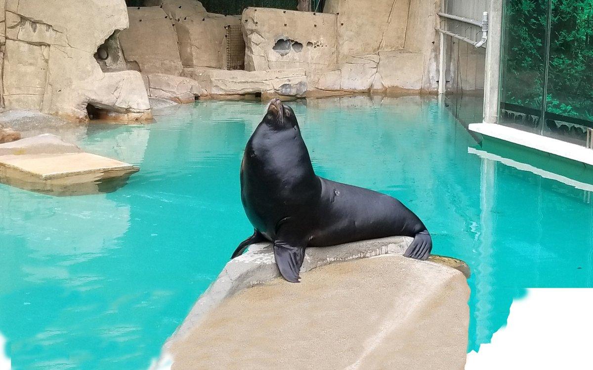 Señor Cinco, a sea lion at the Vancouver Aquarium.