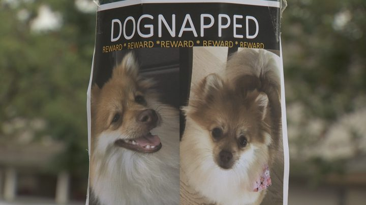 The owner of a Pomeranian is hoping for the safe return of her dog.