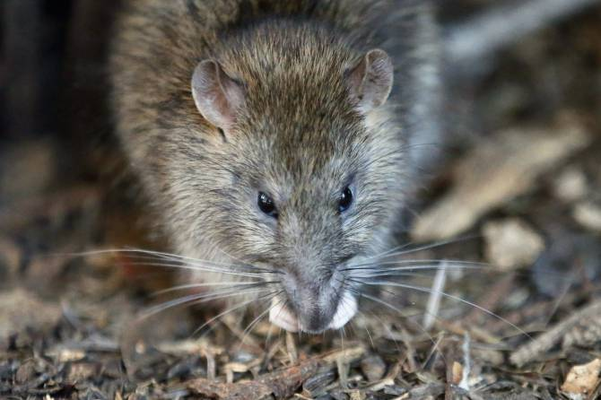 """In April, Victoria was named the second """"rattiest"""" city in B.C. by Orkin Canada."""