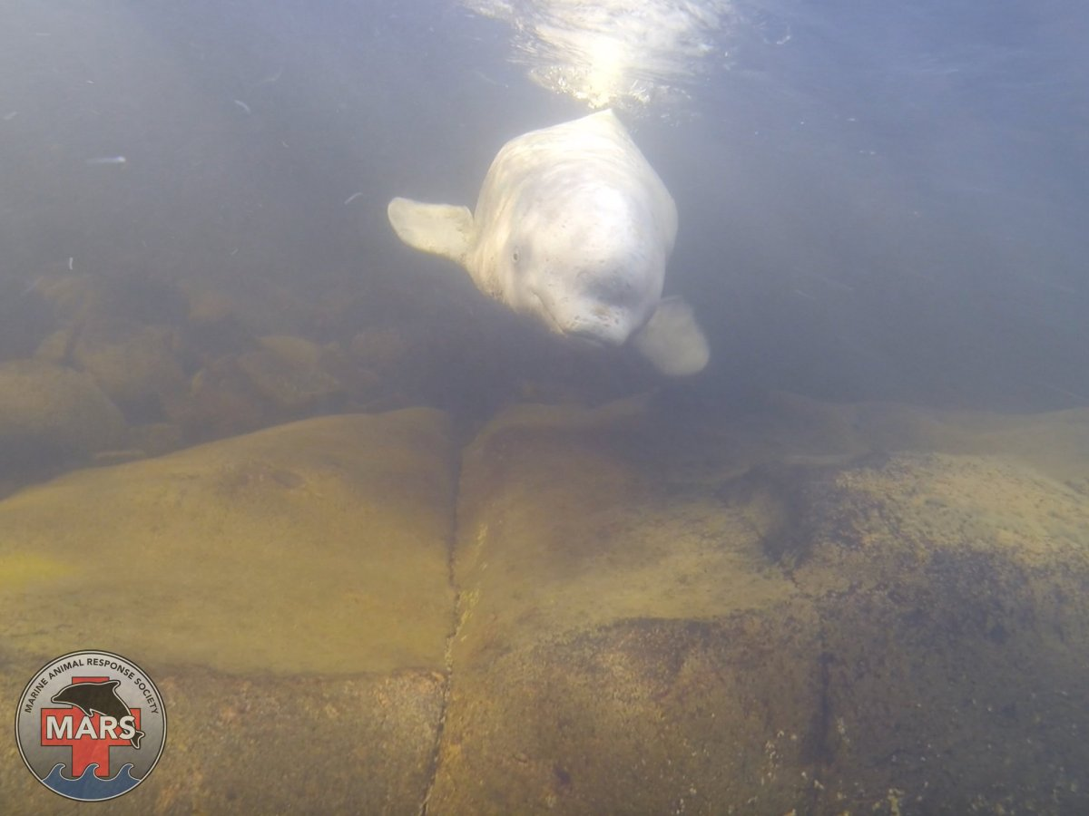 The Maritime Animal Response Society has confirmed that one of the belugas seen in the last few weeks in Ingonish, N.S. is the beluga that was released from the Nepisiquit River in northern New Brunswick last year.
