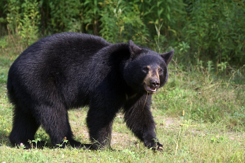 A bear warning has been issued for areas outside of Canmore.
