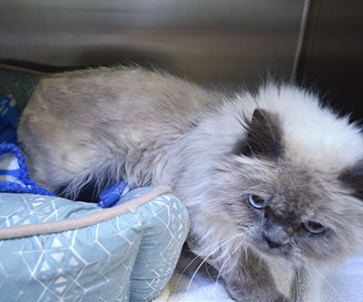 """The Ottawa Humane Society said this two-year-old Himalayan cat, named Delilah, was found """"emaciated"""" and """"near death"""" after being abandoned in an apartment for a month."""
