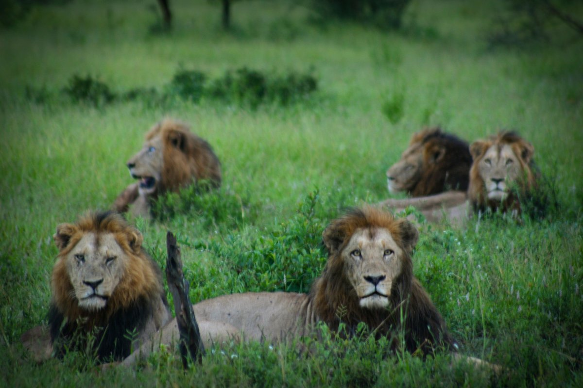 *** EXCLUSIVE ***  KRUGER NATIONAL PARK, SOUTH AFRICA, JANUARY 2015: Photographer Ronesh was later informed that the pride was in fact known as the Gomondwane Males in Kruger National Park, South Africa.  A coalition of six male lions look up with gleaming eyes before strolling towards the photographer sitting only 10m away. Shot in Kruger National Park, South Africa, the following series of stunning images were taken by wildlife photographer Ronesh Parbhoo. The South African photographer later learned that the lions were in fact a coalition that ruled the area.  PHOTOGRAPH BY Ronesh Parbhoo / Barcroft Media   UK Office, London. T +44 845 370 2233 W www.barcroftmedia.com  USA Office, New York City. T +1 212 796 2458 W www.barcroftusa.com  Indian Office, Delhi. T +91 11 4053 2429 W www.barcroftindia.com (Photo credit should read Ronesh Parbhoo / Barcroft Media / Barcroft Media via Getty Images).