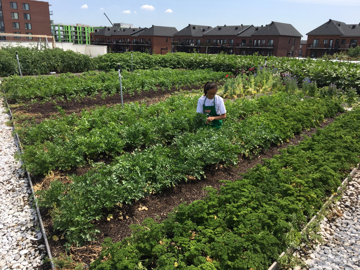A worker harvests produce from a rooftop garden of an IGA supermarket in the Montreal borough of Saint-Laurent.