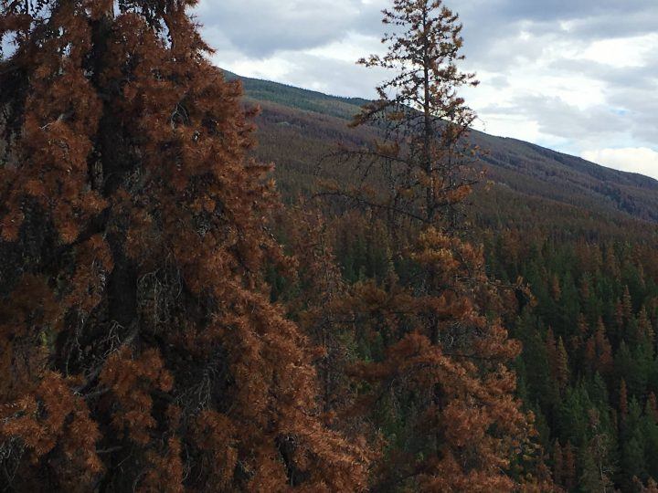 About 93,000 hectares of pine forest in Jasper National Park have been impacted by the mountain pine beetle, posing a huge fire risk.
