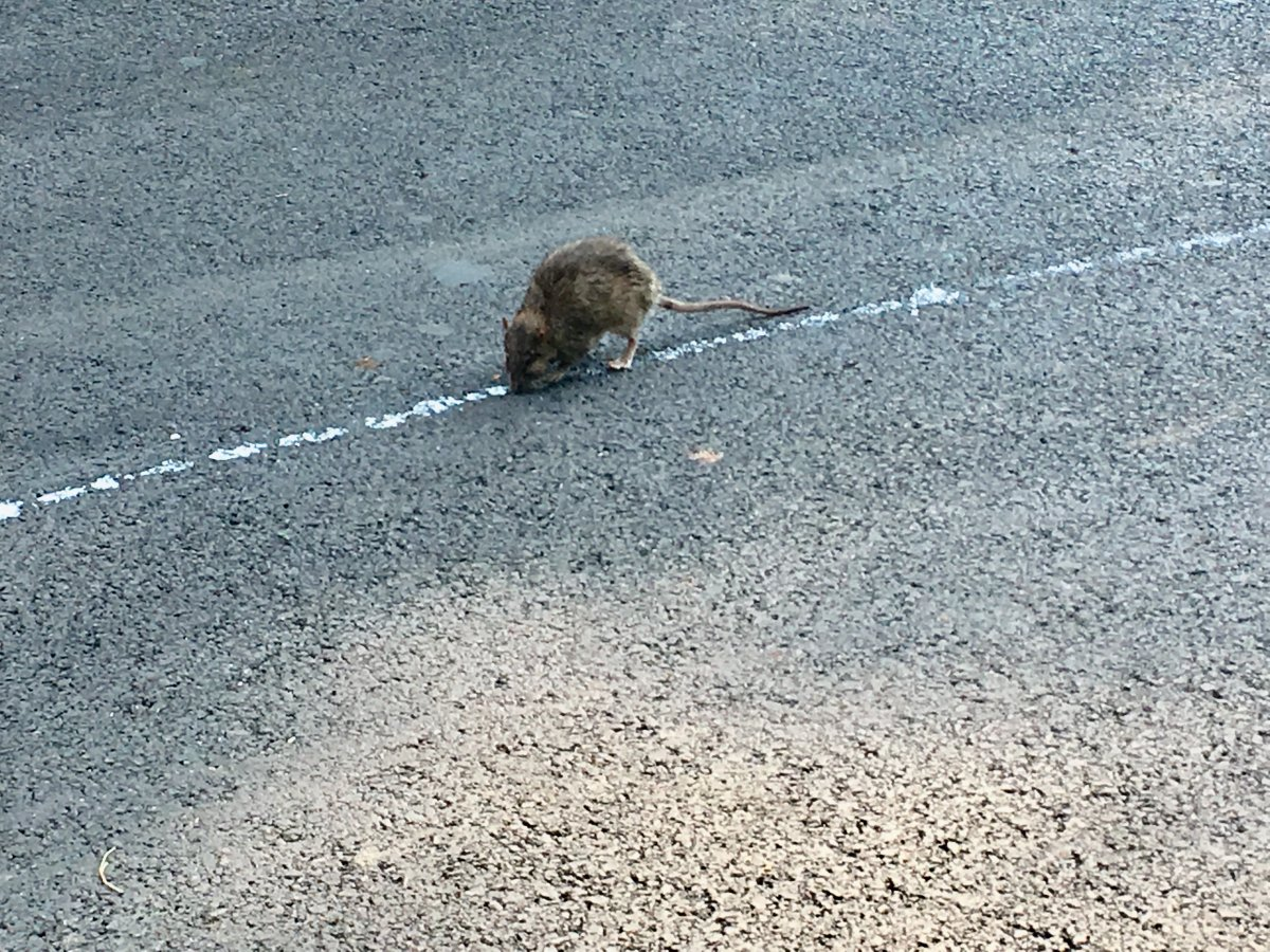 Rat in NDG follows waste leaking out of a garbage truck. Monday, July 30, 2018.