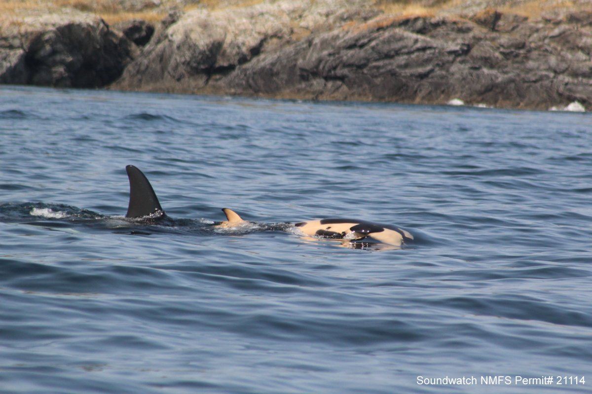 J35, a southern resident killer whale, pushes her dead calf in front of her on July 27, 2018.