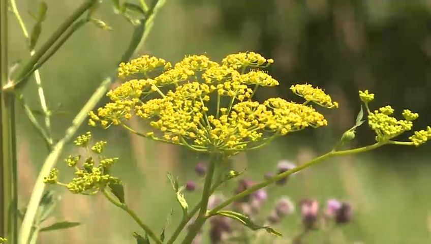 The city urges the public to avoid wild parsnip because of the burn it causes to human skin.
