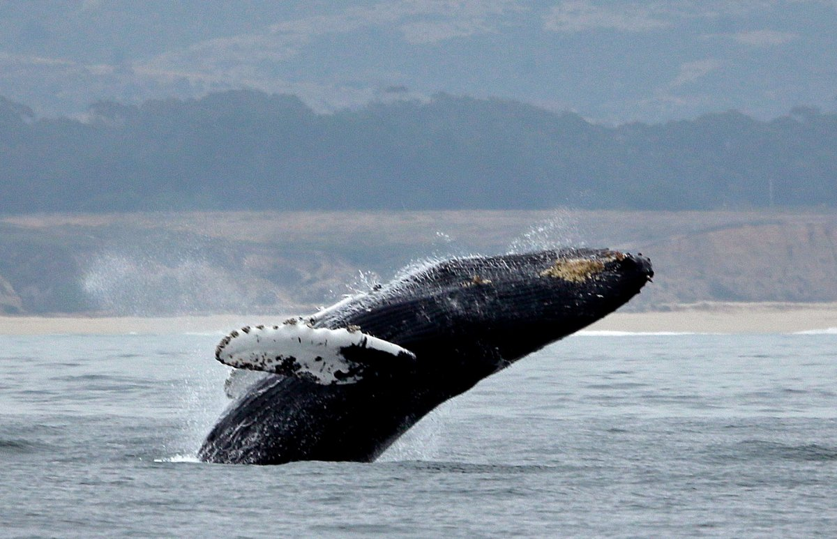 In this Monday, Aug. 7, 2017, file photo, a humpback whale breeches off Half Moon Bay, Calif.