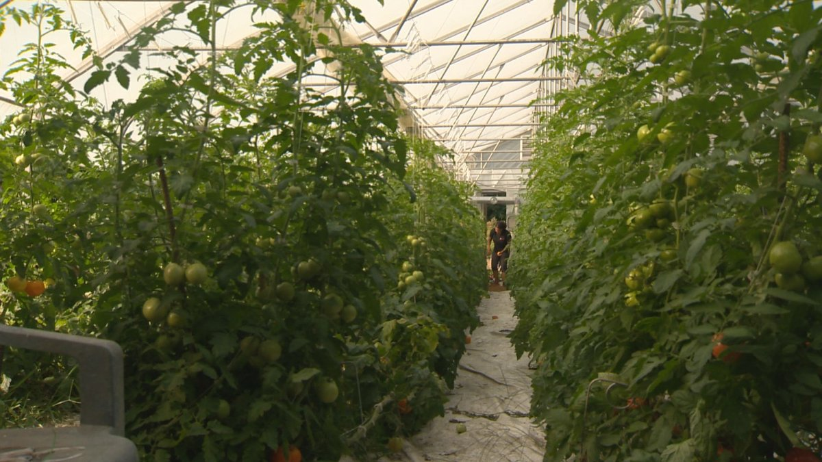 Concern over the supply of natural gas has many greenhouse growers saying they'll hold off on planting winter crops.