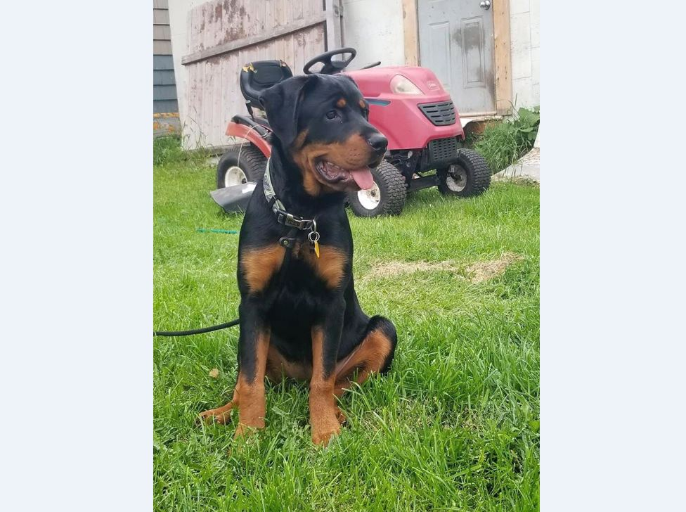 Molly, a six-month-old Rottweiler, is shown in a handout photo. A P.E.I. dog park is facing criticism for their policy banning specific types of dogs, and an expert says while it's within the park owner's rights, forbidding individual breeds isn't the answer to preventing dog bites.