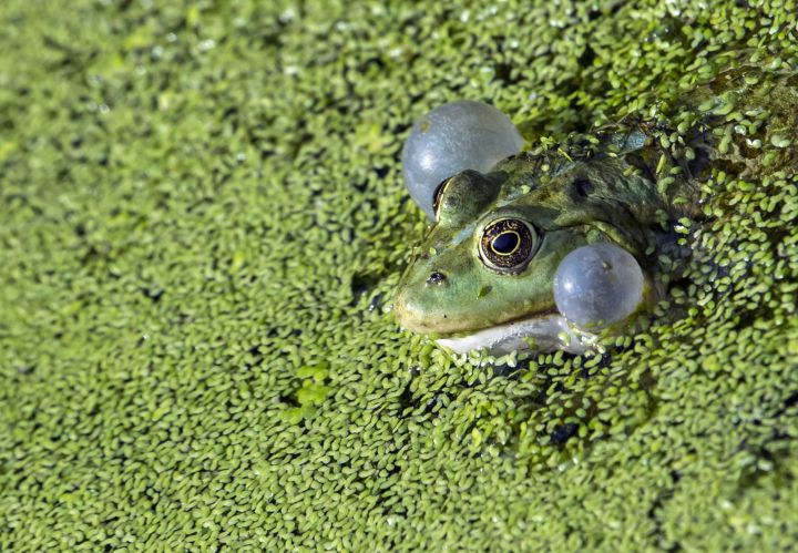 A file photo of a frog sitting in a pond.