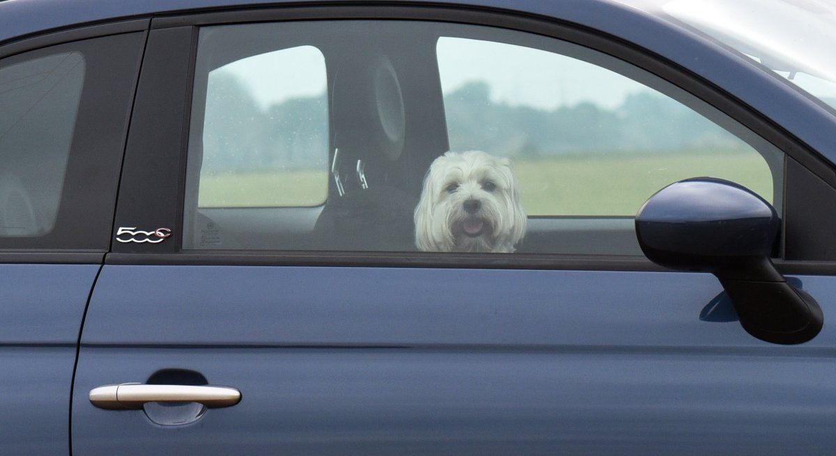 A dog looks out of the window of a car in Coswig, eastern Germany, on Aug. 13, 2015.