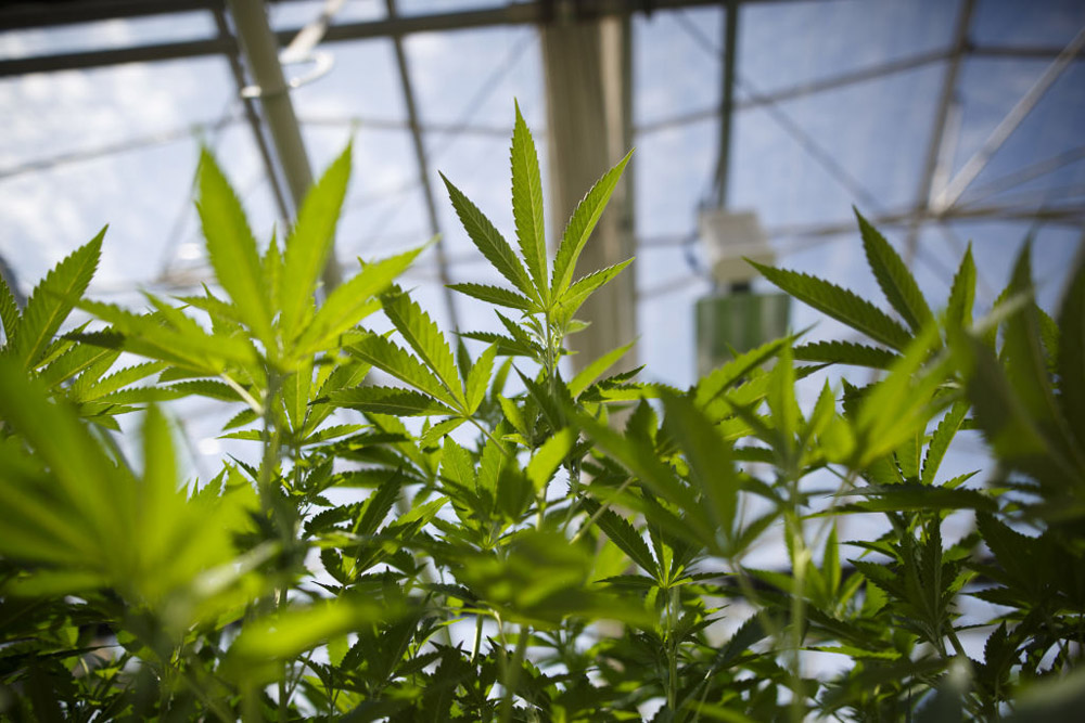 The company says the cannabis committee will help determine what pot products go into a sample pack.