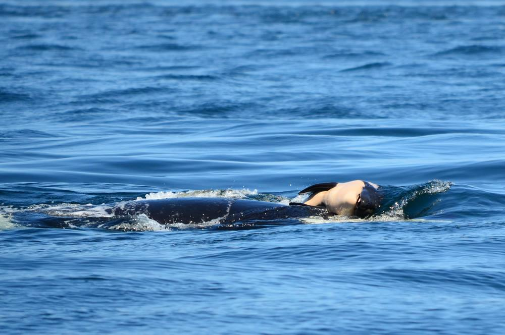 J-35 pushes her dead calf in the waters off B.C.'s coast. The orca has been keeping the deceased baby afloat for more than two weeks.