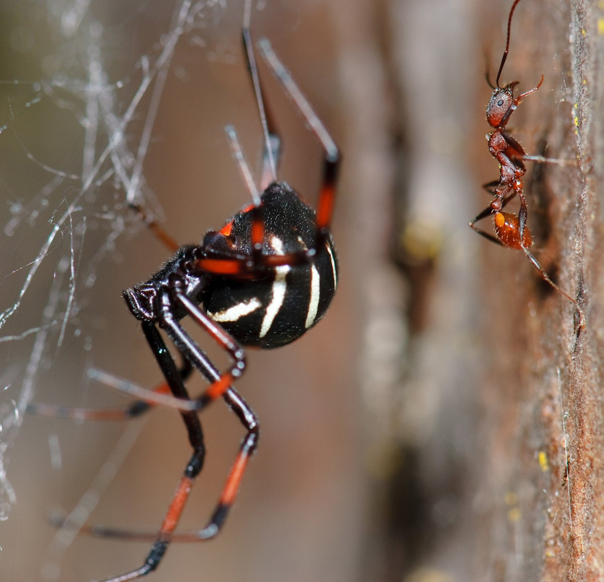 The northern black widow spider has been spotted in Montreal, indicating an increase in its northern range.  (Photo credit: Marshal Hedin).