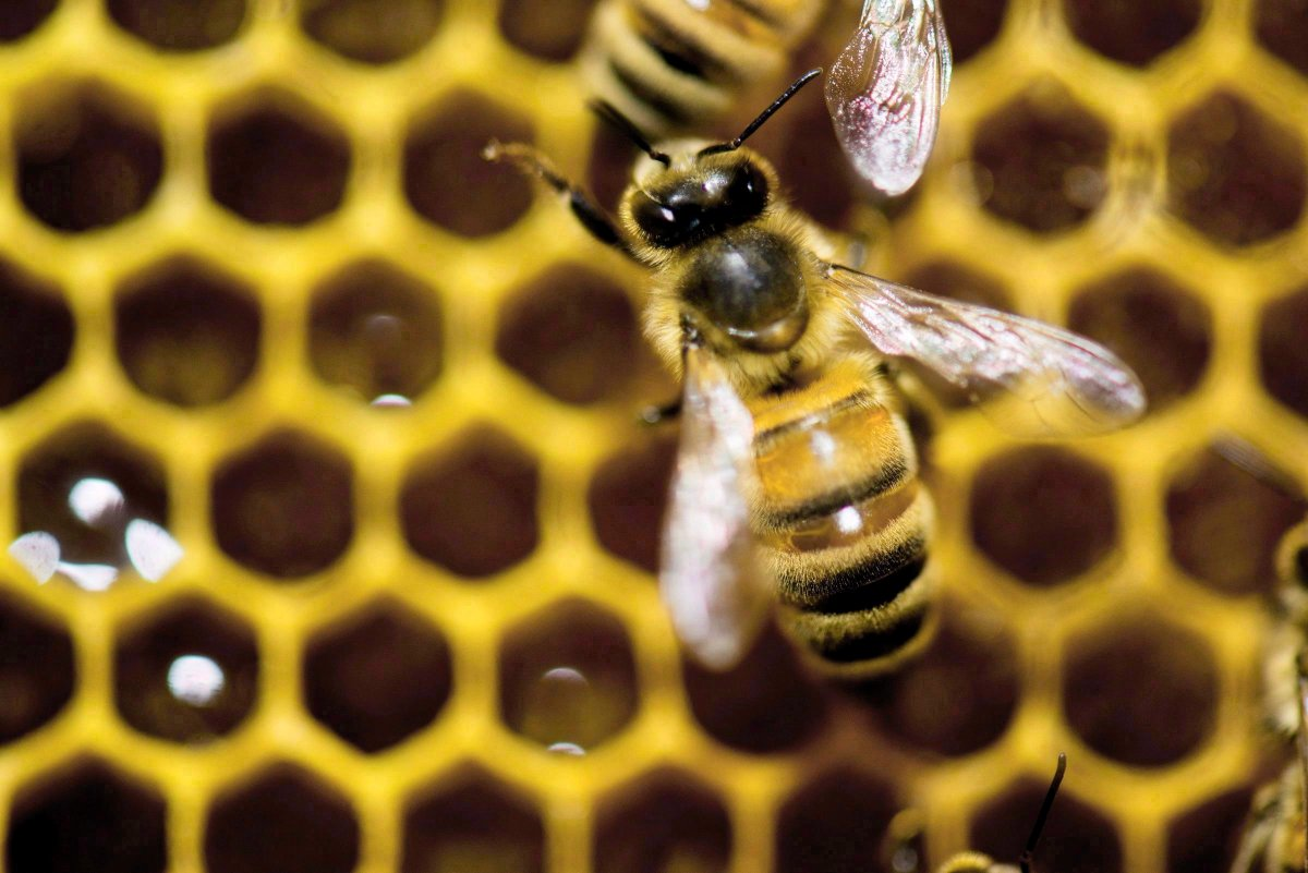 "Barrie is now Canada's 30th designated ""Bee City.""."