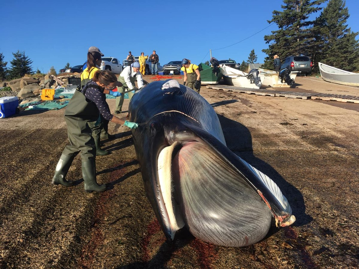 Officials will perform a necropsy on a Minke whale on Grand Manan Island on Sept. 30.