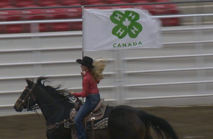 More than 80 little buckaroos roped and rode in theCalgary Stampede 4-H Rodeo this weekend.
