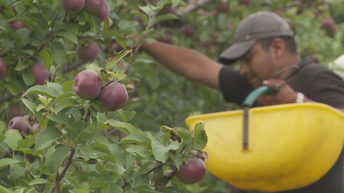Hy-Hope Farm in Ashburn, Ont., is one of many Durham farms that will be starting its pick-your-own-apples program this weekend.