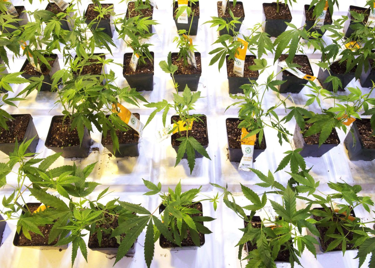 Cannabis seedlings at the new Aurora Cannabis grow facility are seen in Montreal, Friday, Nov. 24, 2017. THE CANADIAN PRESS/Ryan Remiorz.