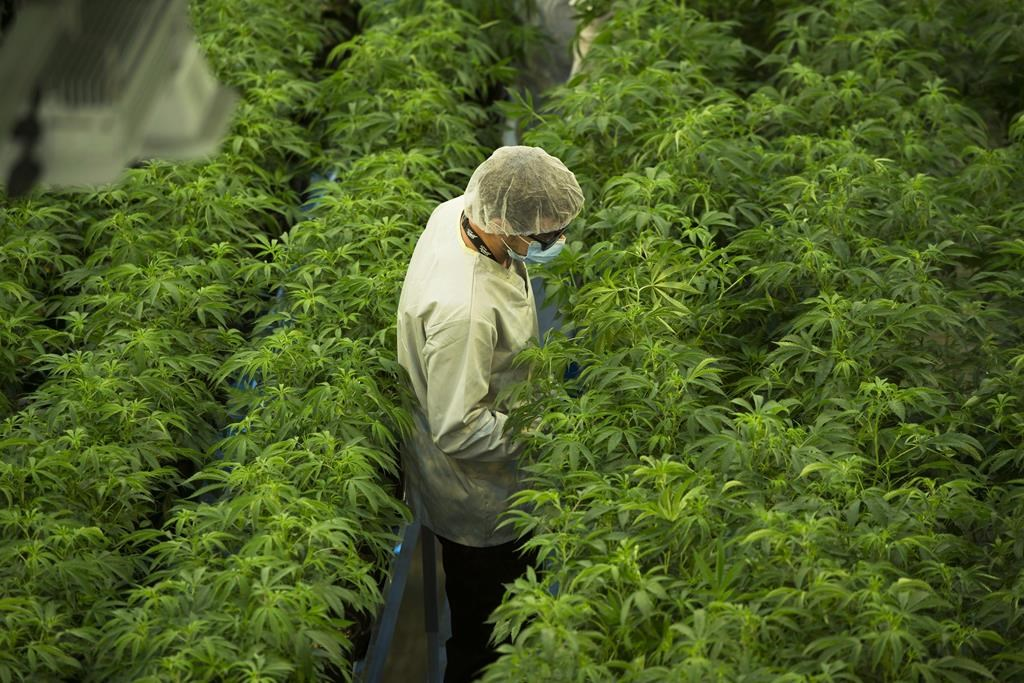 Staff work in a marijuana grow room that can be viewed by at the new visitors centre at Canopy Growths Tweed facility in Smiths Falls, Ont., on Thursday, Aug. 23, 2018. THE CANADIAN PRESS/Sean Kilpatrick.