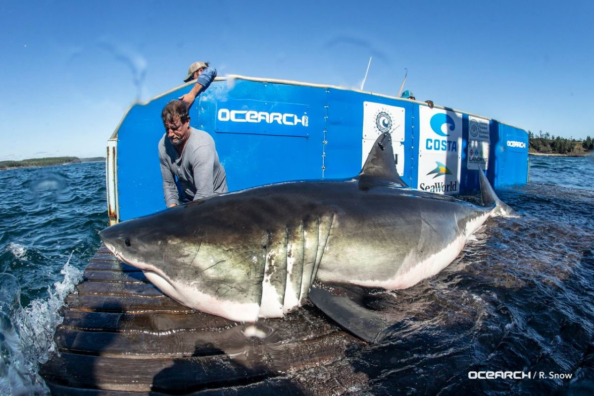 """""""White Shark Hal"""" was tagged by Ocearch on Saturday, Sept. 29, 2018."""