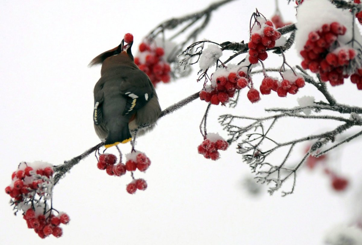 A Bohemian waxwing positions a mountain ash berry before swallowing on Dec. 18, 2013, in Anchorage, Alaska.