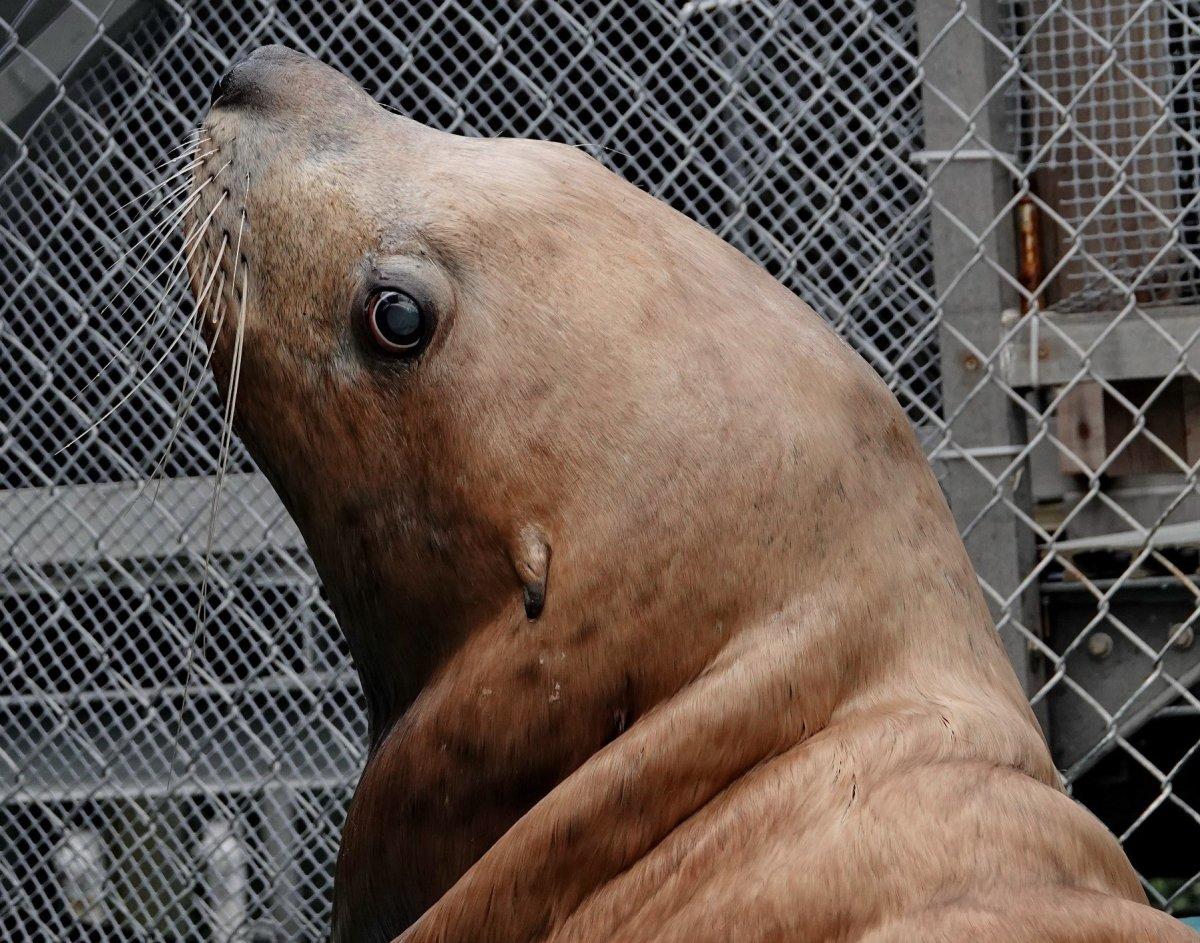 Ukee the Steller sea lion has passed away.