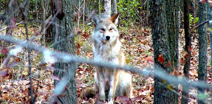 Assiniboine Forest has been reopened after coyote sightings forced sections to be closed earlier this month.