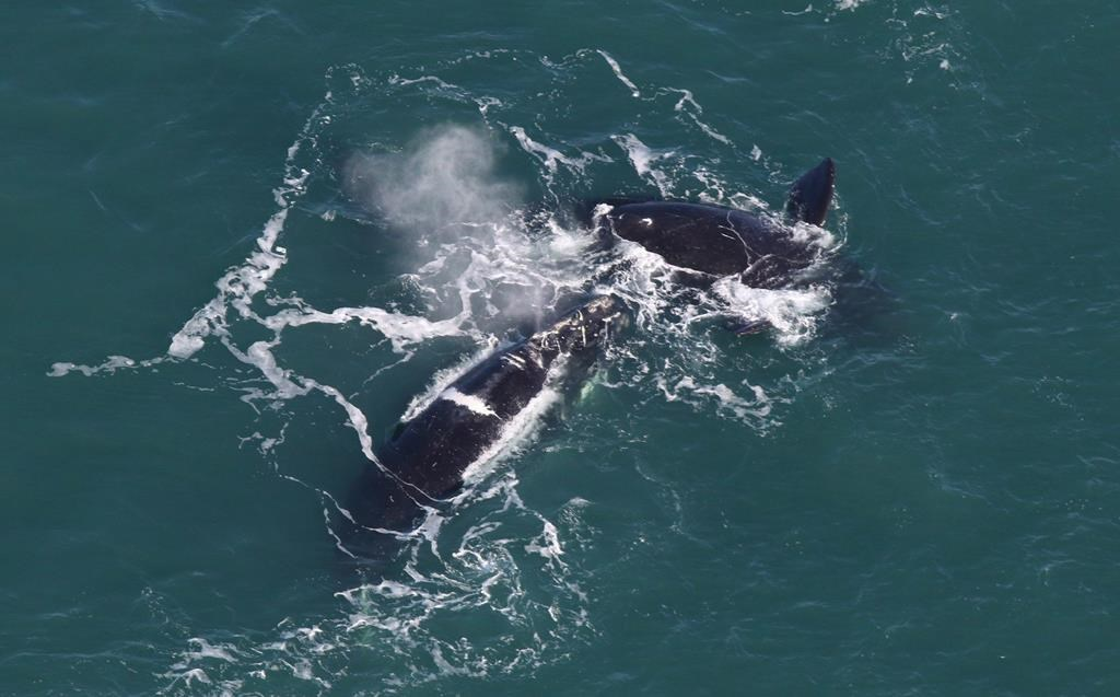 Right whales are shown in a a Center for Coastal Studies handout photo.