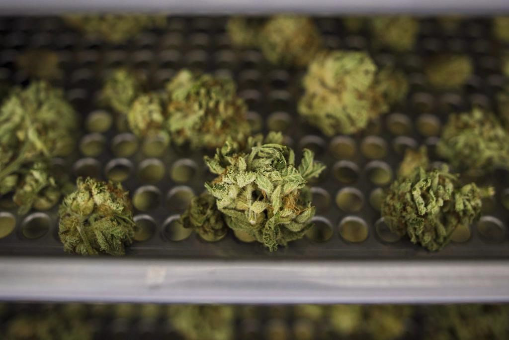 Cannabis buds lay along a drying rack at the CannTrust Niagara Greenhouse Facility in Fenwick, Ont., on Tuesday, June 26, 2018. The Ontario Cannabis Store says it has received about 100,000 online orders in the first 24 hours that marijuana was legal in Canada. THE CANADIAN PRESS/ Tijana Martin.
