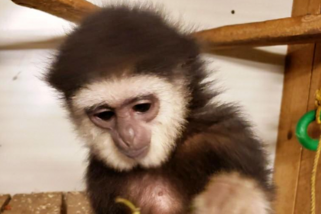 Agnes the gibbon is seen in a photo tweeted by the Ontario Provincial Police on Oct. 22, 2018.