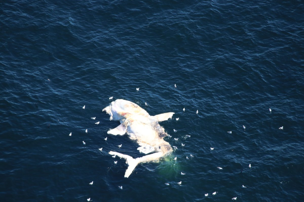The carcass of a North Atlantic Right Whale spotted off of Nantuckt on Oct. 15, 2018.