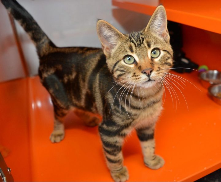 As of Halloween morning, AARCS has received over 500 adoption applications. As of Oct. 31, this cat hasn't been adopted.