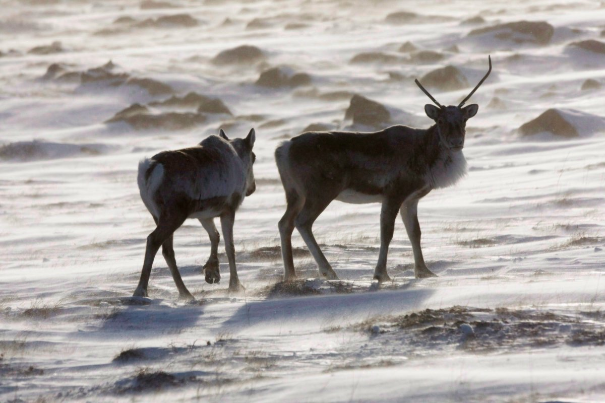 Wild caribou roam the tundra near The Meadowbank Gold Mine located in the Nunavut Territory of Canada on March 25, 2009.