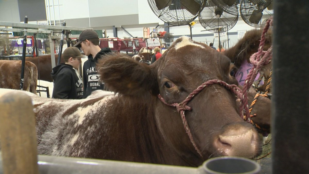 Despite uncertainty caused by the coronavirus pandemic, Canadian Western Agribition organizers are preparing for its 50th show in November.