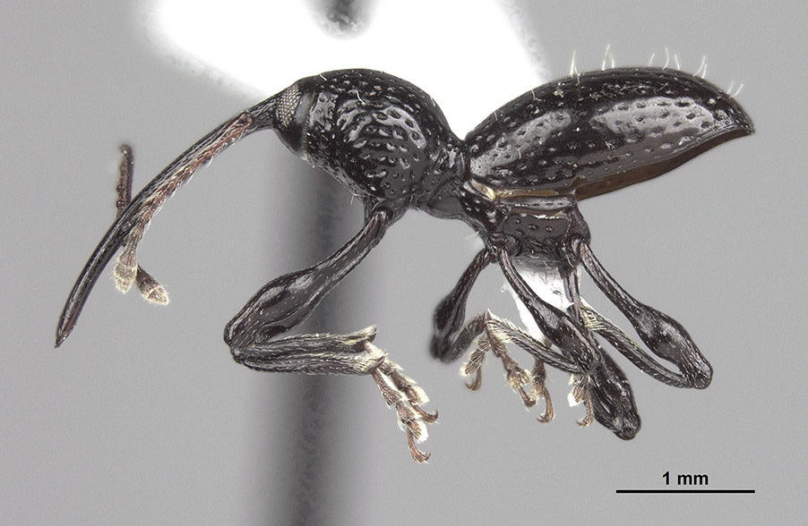 A species of weevil native to the Dominican Republic has been named Sicoderus bautista after Jose Bautista.