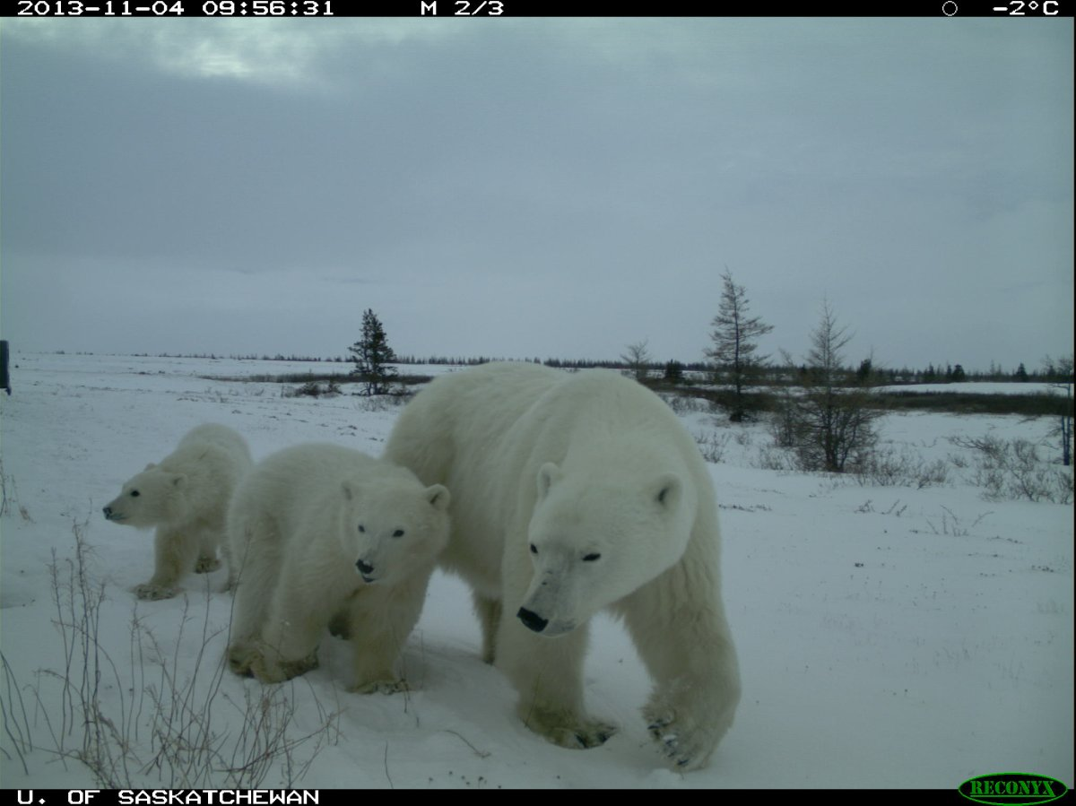 Polar bears, black bears, and grizzlies have been found together for the first time during a University of Saskatchewan research project in northern Manitoba.