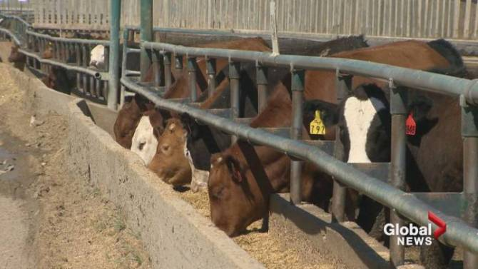 The Canadian Food Inspection Agency has now started an investigation after a cow in B.C. was found to have bovine TB.