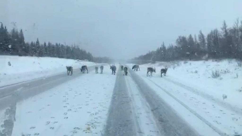Caribou are seen on a highway near Dear Lake, N.L. on Thursday, November 22, 2018.