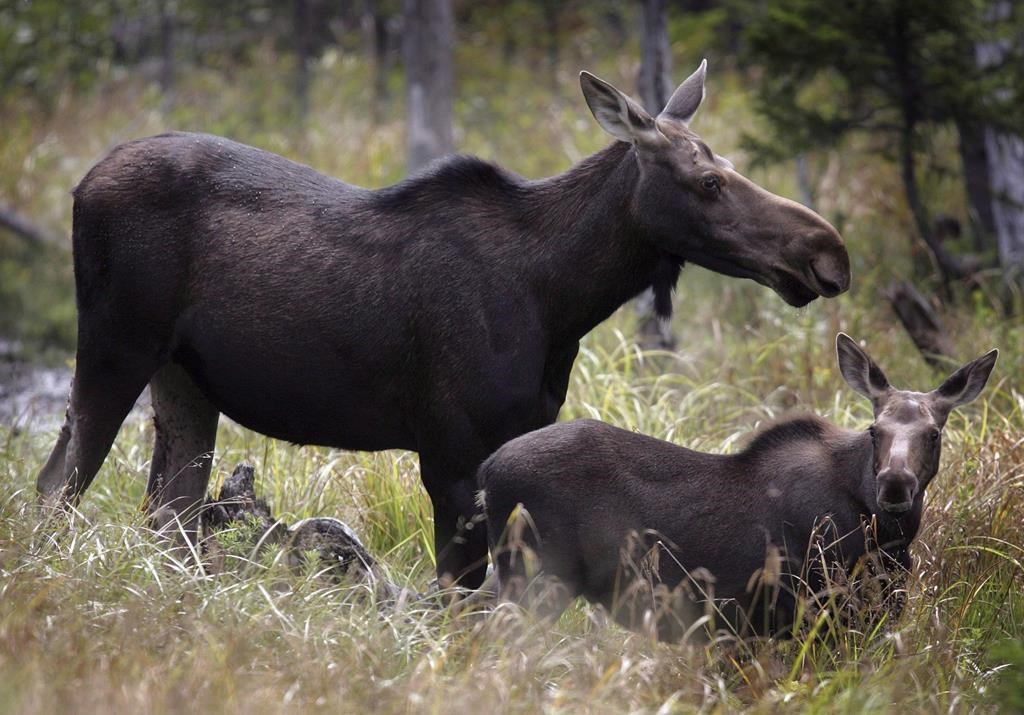 Moose graze in Franconia, N.H. in an Aug.21, 2010 file photo. When a Mi'kmaq hunter shoots a moose in Cape Breton Highlands National Park, the meat feeds children, hides are used in clothing, and there's one fewer ungulate damaging the park's vulnerable forest.