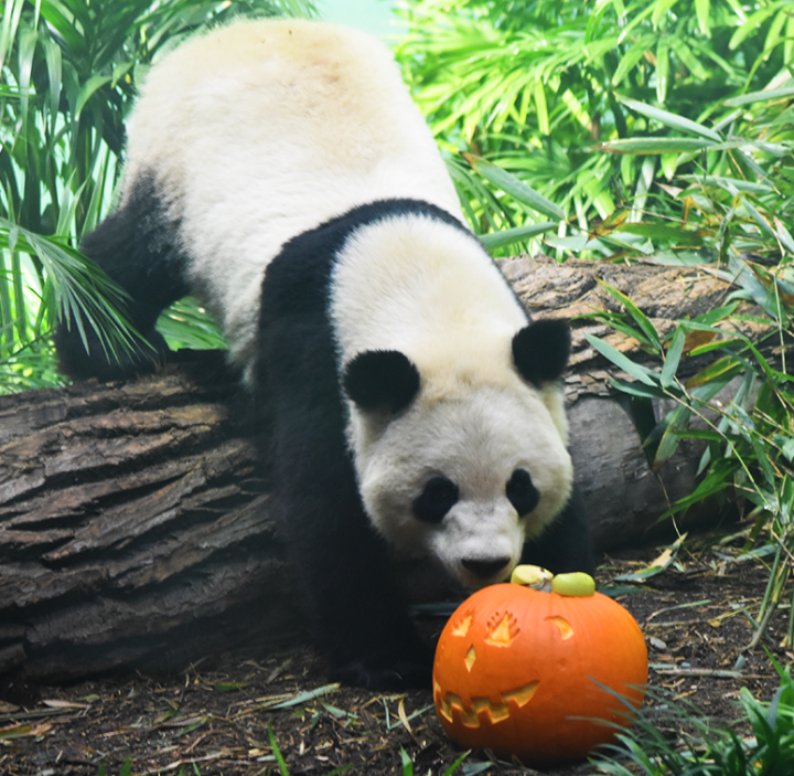 The giant pandas and the Pallas's cat munched on pumpkins on Halloween.