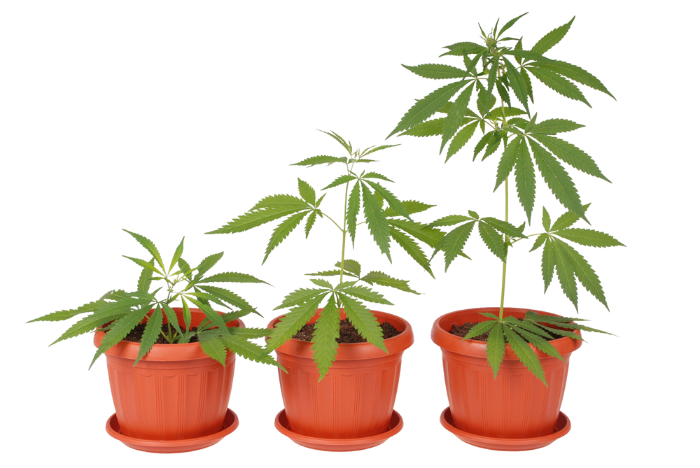 Marijuana plants are seen in this file image .