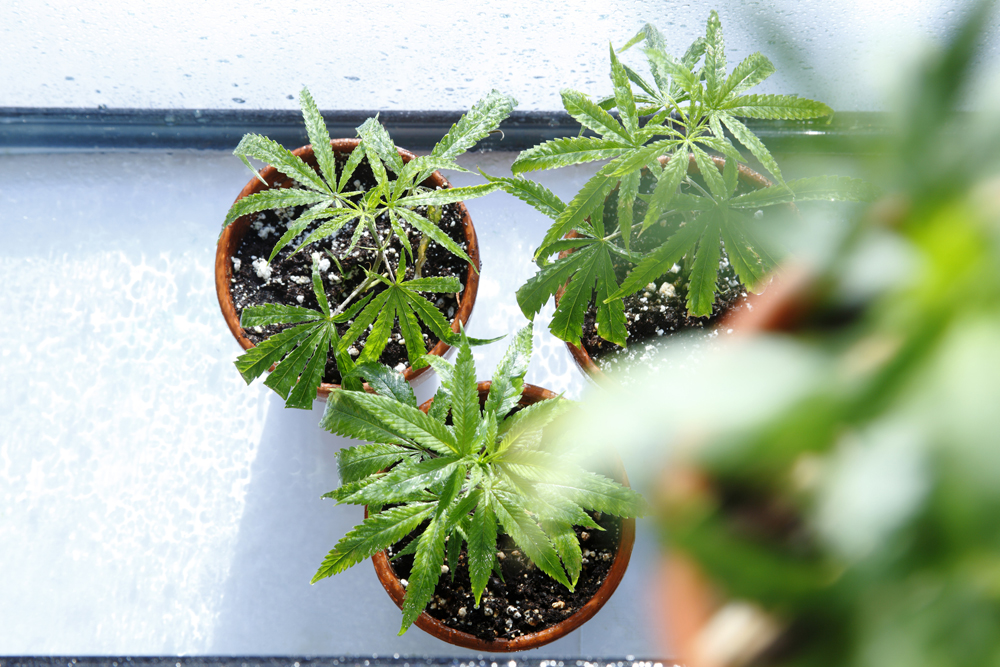 The City of Hamilton is amending its nuisance bylaw as a result of large-scale personal grow operations in the area.