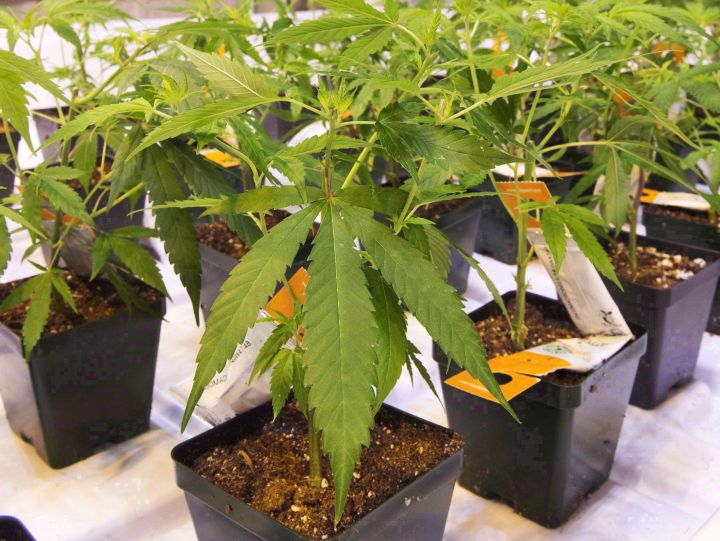 Cannabis seedlings are shown at an Aurora Cannabis facility, Friday, November 24, 2017 in Montreal. Aurora Cannabis is striking a distribution deal to supply medical pot to Mexico.