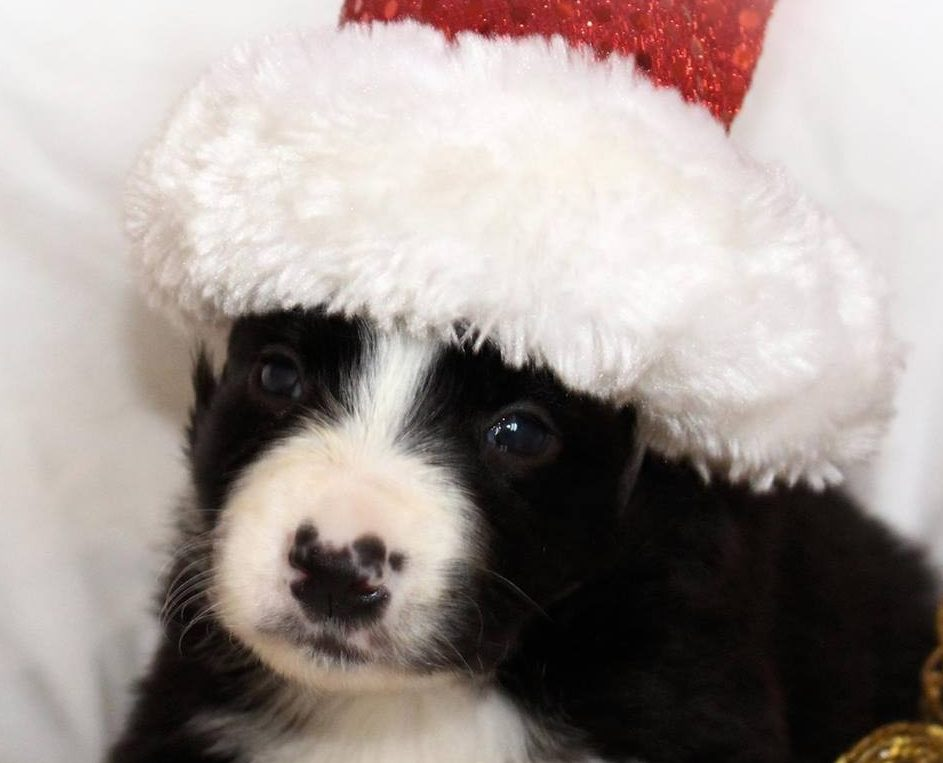 One of the puppies gets into the Christmas spirit.