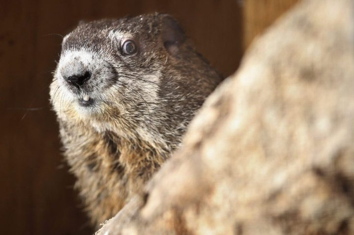 Harley the groundhog pokes her head into the sunshine lighting her containment area and sees her shadow at the Blue Ridge Wildlife Center in Boyce, Va. on Groundhog Day Friday, Feb. 2, 2018.