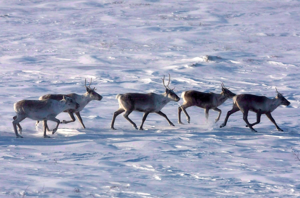 Wild caribou roam the tundra in Nunavut on March 25, 2009.
