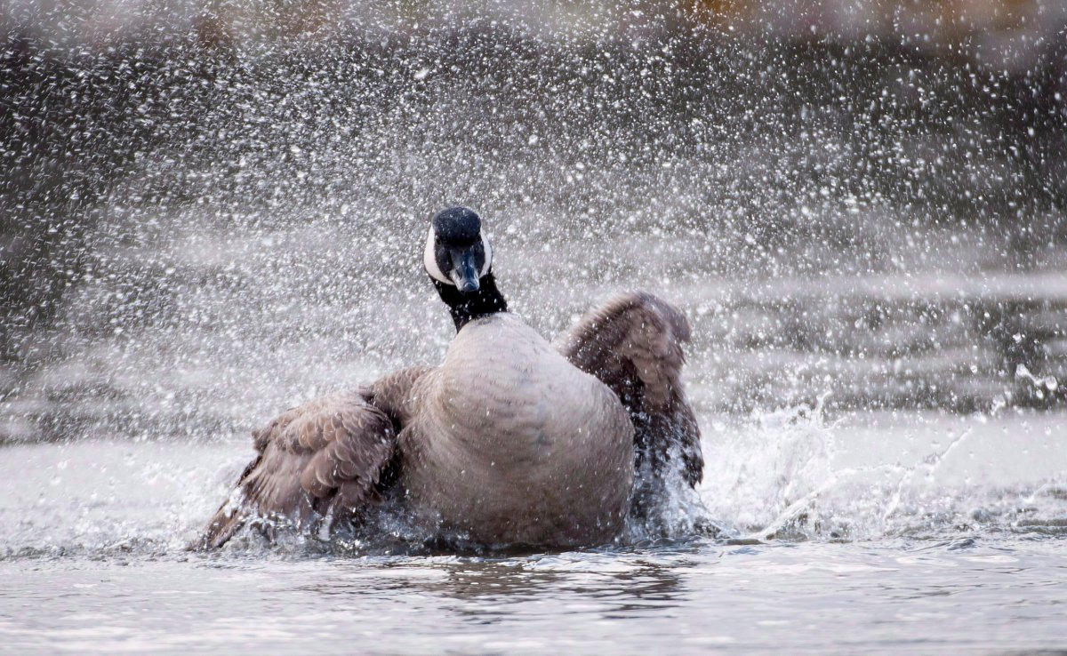 A Canadian gooses shakes his feathers as he swims on a pond. A goose has decided to winter at a Winnipeg car wash.
